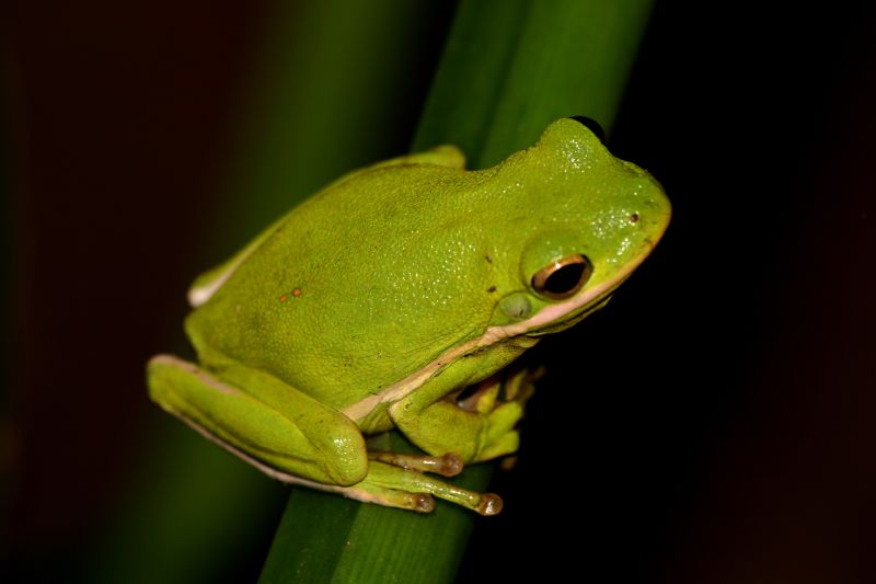 File:Green Tree Frog (Hyla cinerea) (23701968).jpg ... Poisonous Green Frogs In Texas