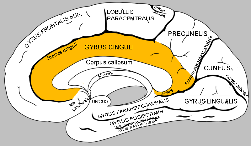 Images of Cingulate Gyrus - #SpaceHero