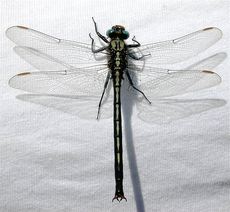 Horned Clubtail Wikipedia