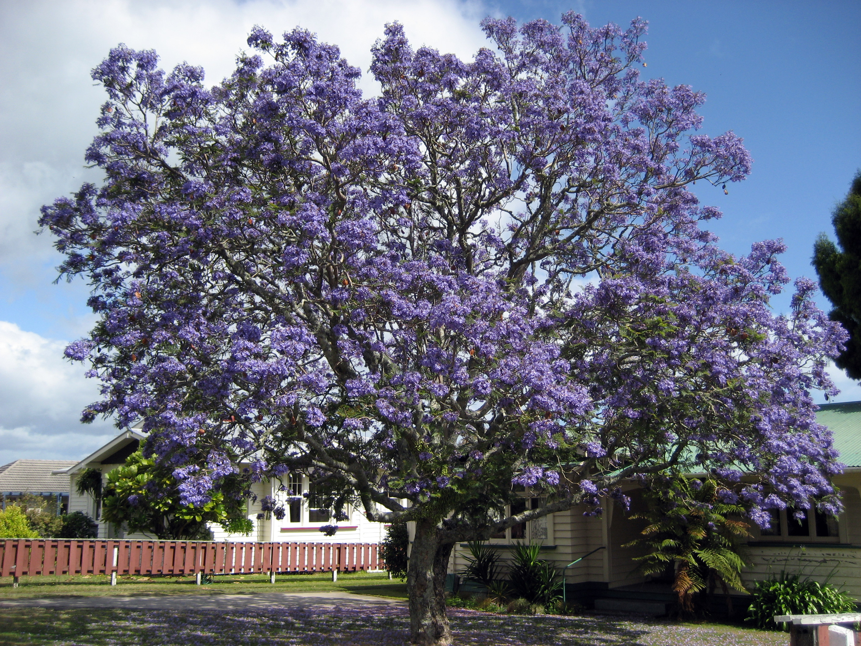 File:Jacaranda1212.jpg - Wikipedia Jacaranda Mimosifolia Flowers