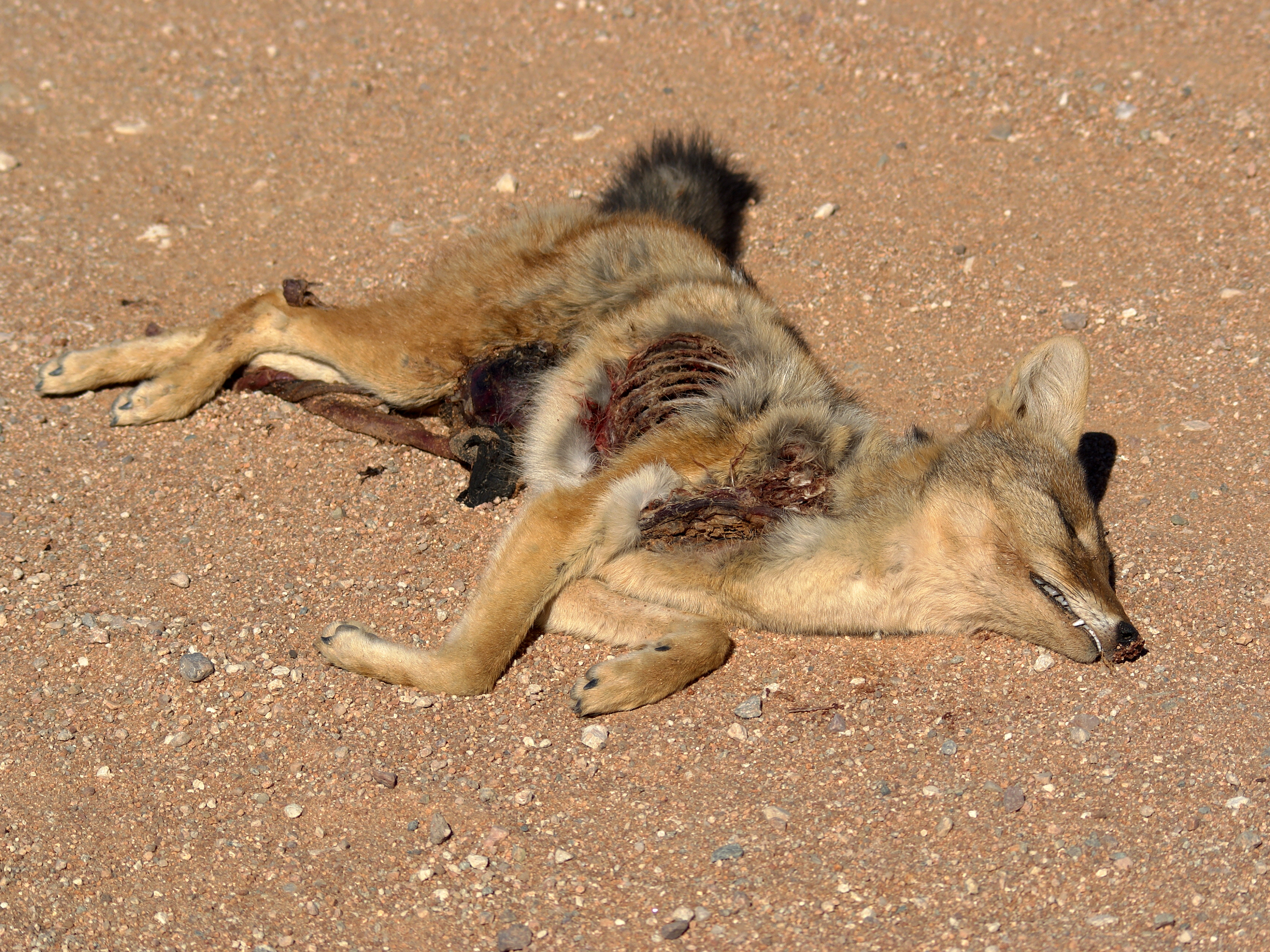 Common Roadkill Animals