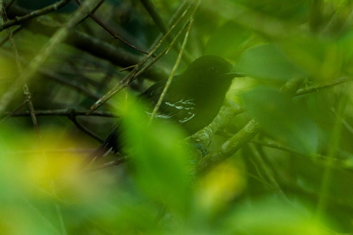 Spotted Antbird -02 on Vimeo