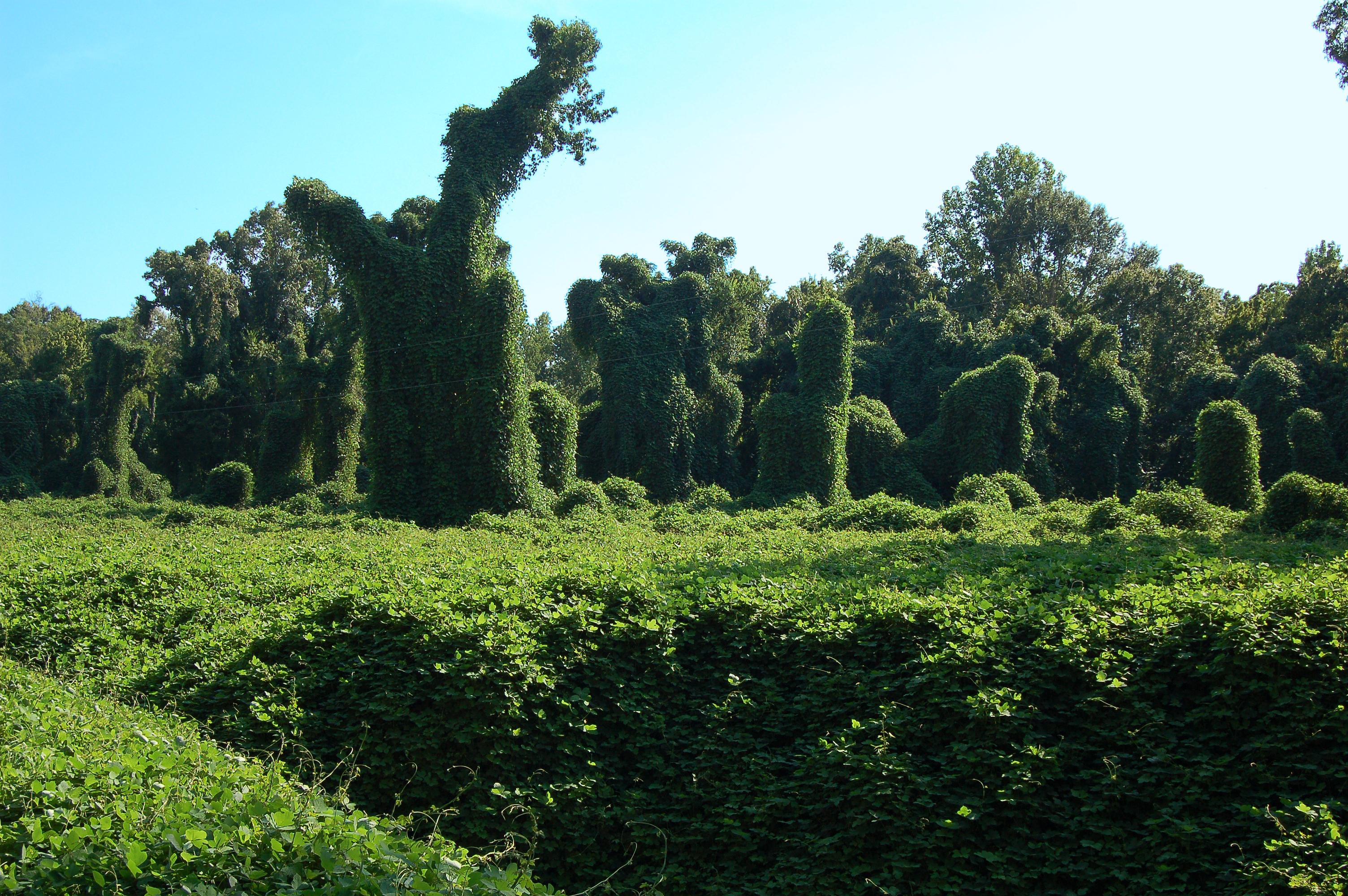 Kudzu plant - photo#13
