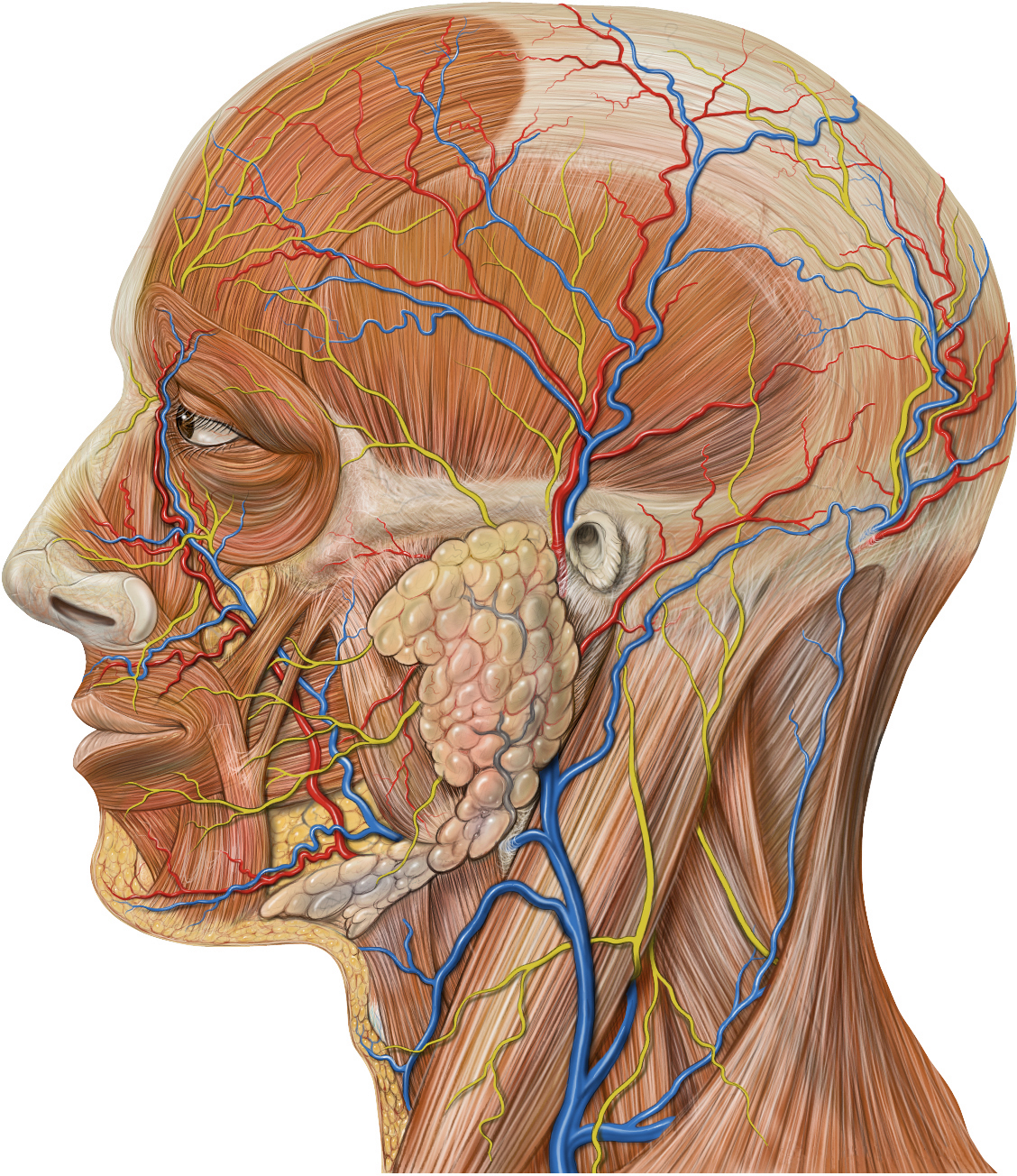 head neck anatomy Illustrated anatomy of the head and neck the muscle anatomy of the head and neck is a fascinating area, with the the neck also containing the 7 vertebrae of the part of the spine called the cervical curve.