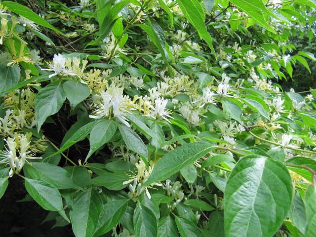 Lonicera maackii (Amur Honeysuckle)
