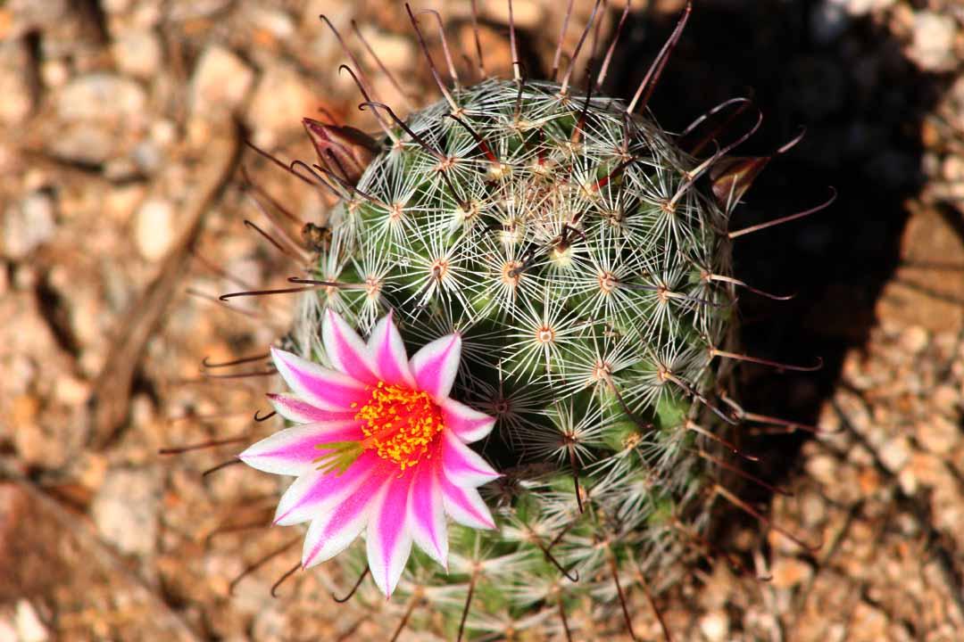 [Image: Mammillaria_grahamii_-_Arizona_Desert_Ca...767%29.jpg]