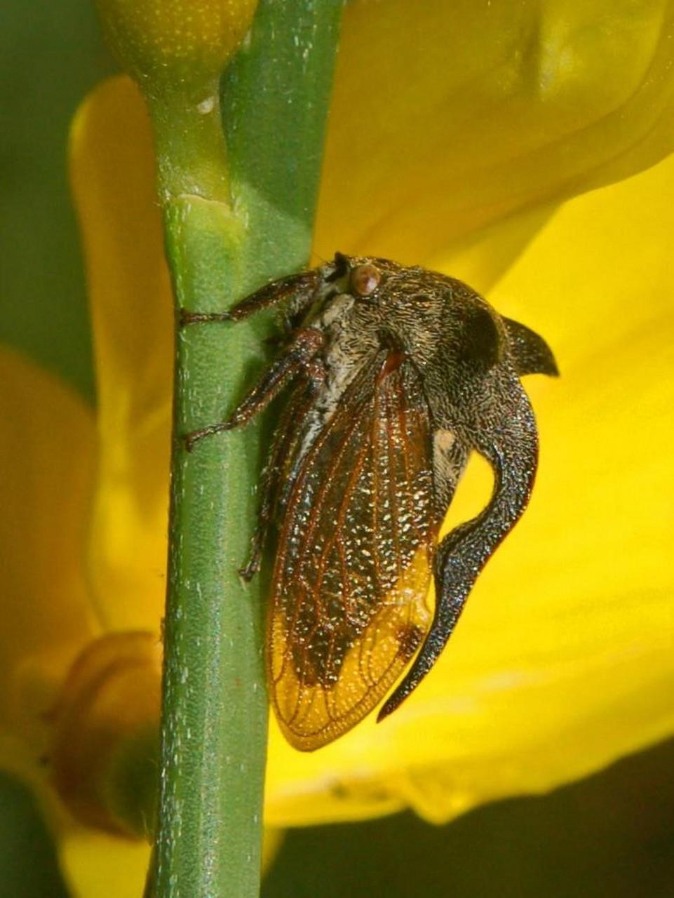 centrotus cornutus wikipedia