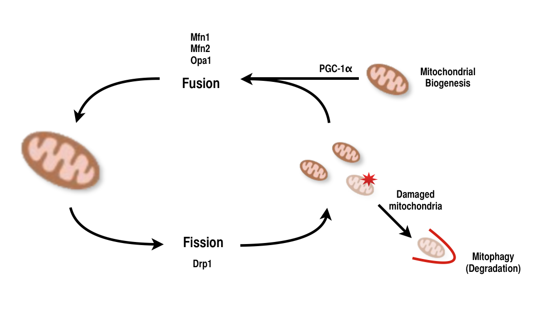 file mitochondrial fission and fusion png wikimedia commons