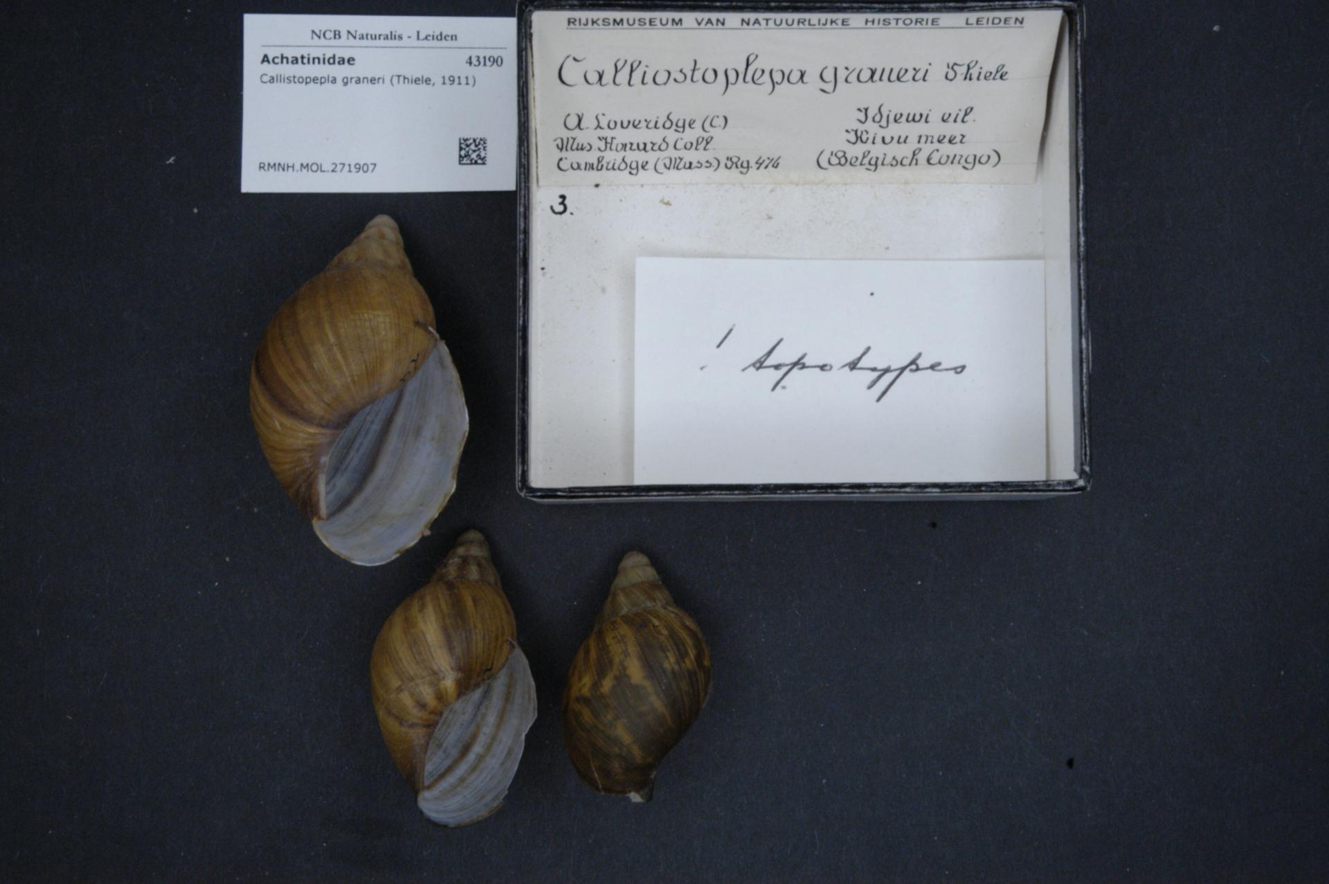 fc053f2d2fae File Naturalis Biodiversity Center - RMNH.MOL.271907 - Callistopepla  graneri (Thiele