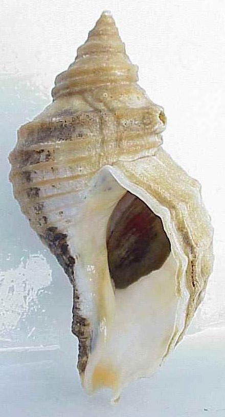 Neptunea lyrata shell.jpg