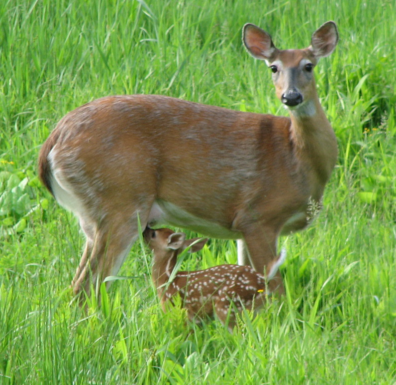 Image result for fawn tail deer