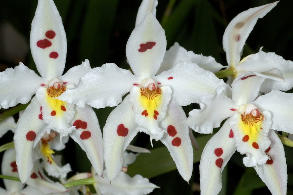Image result for ODONTOGLOSSUM