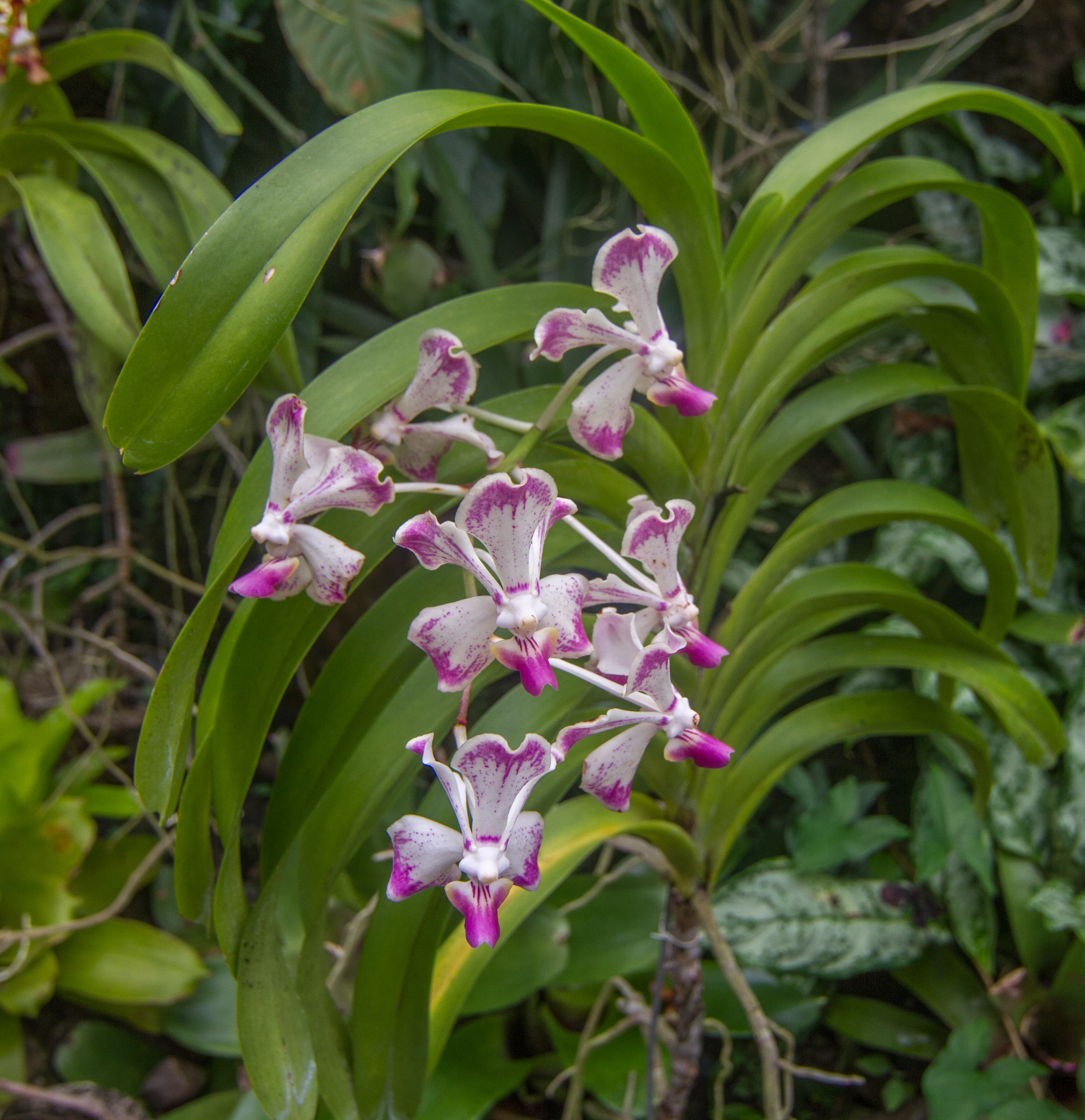 Ordinaire File:Orchids. Garden Of The Sleeping Giant, Fiji 01