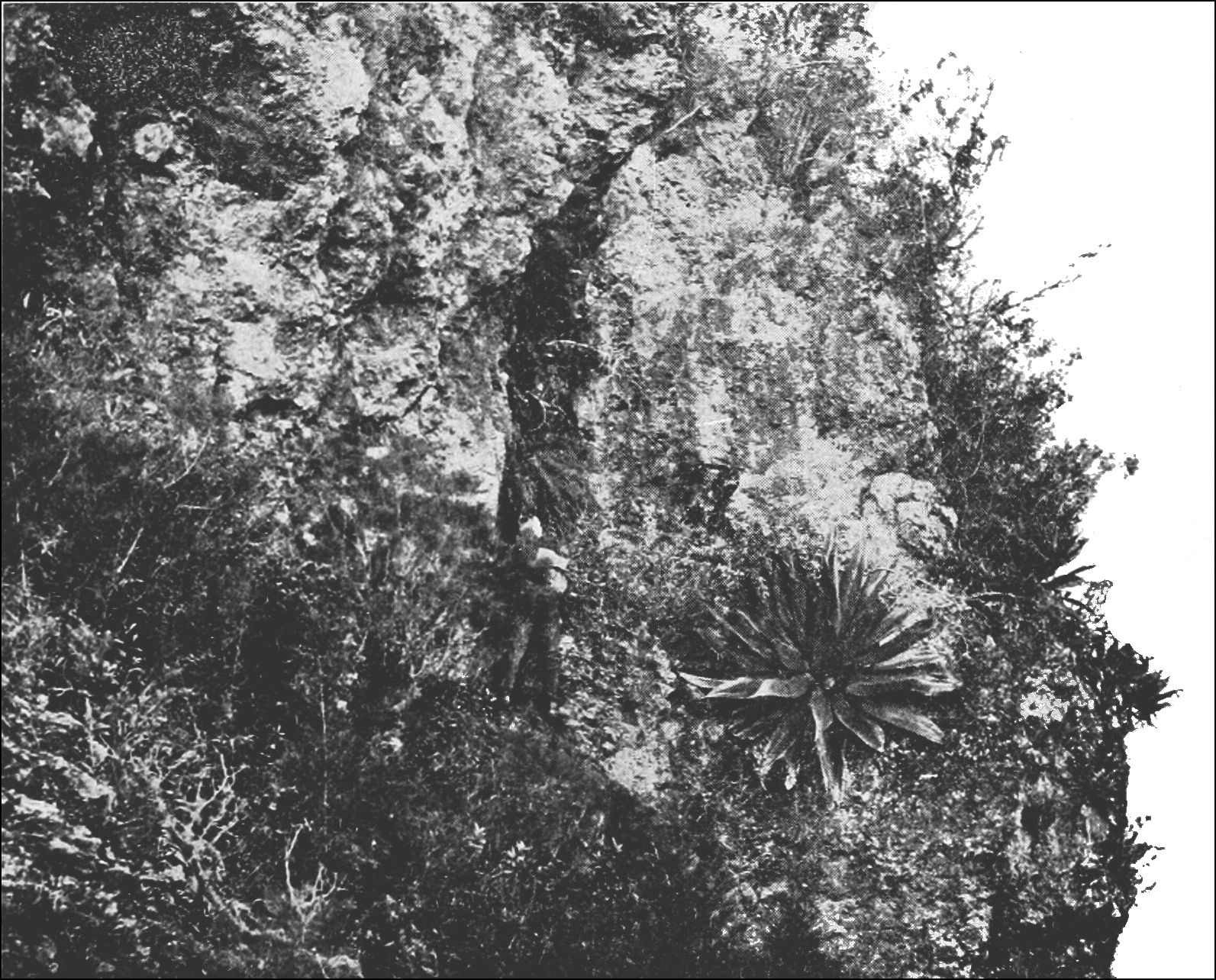 PSM V86 D037 Cliff with xerophytic plants.jpg