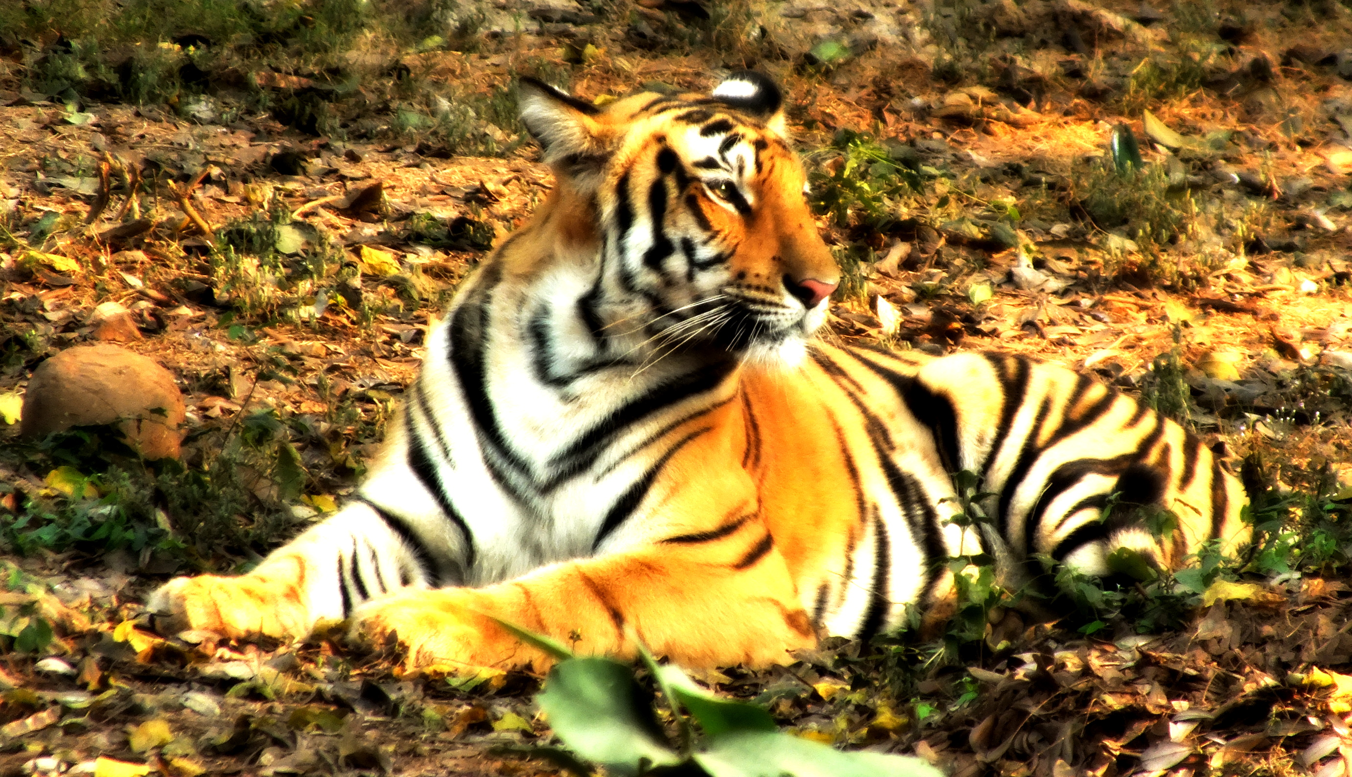 Image result for Tigers are the largest creatures among other wild cats