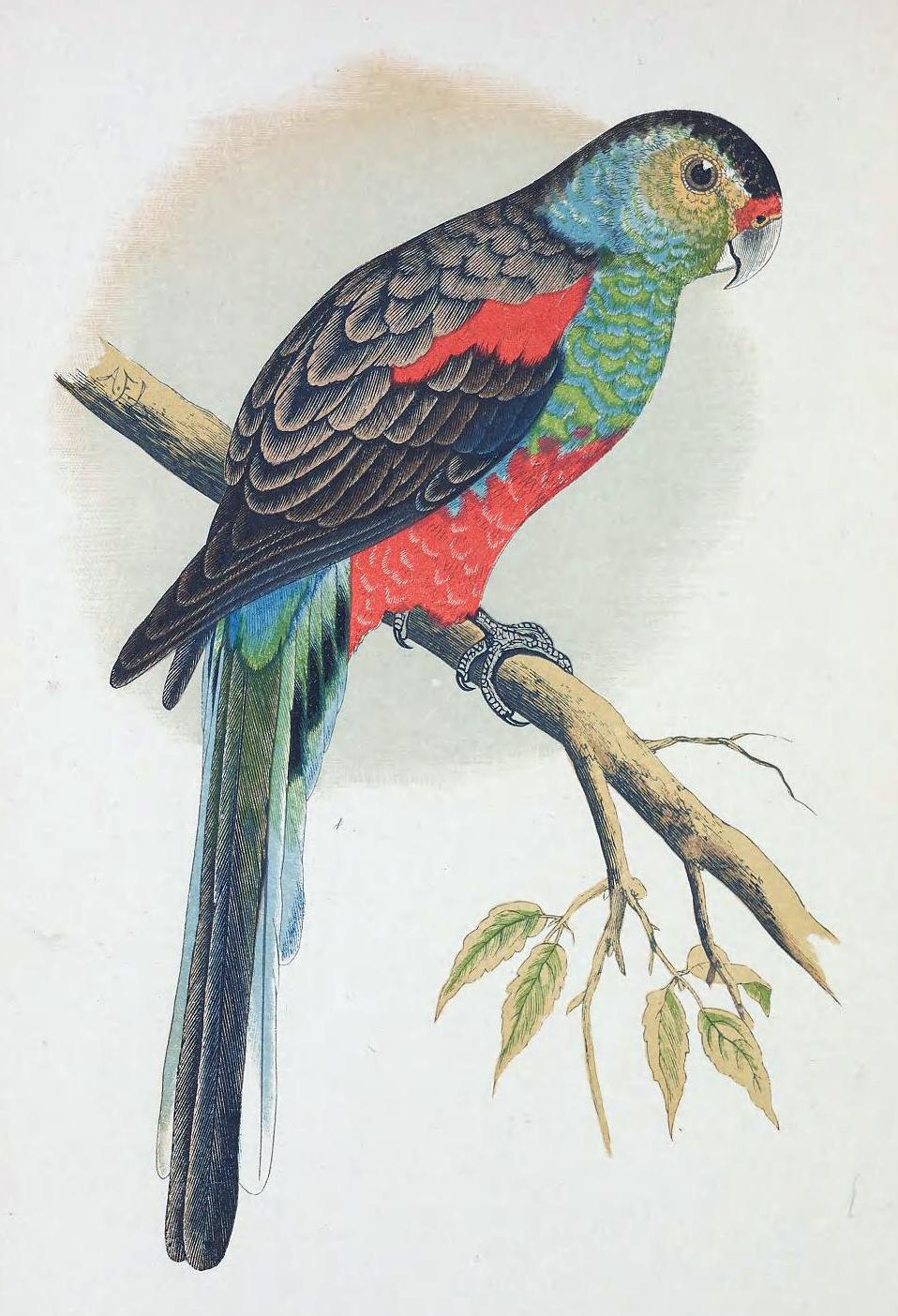 Вымершие и уничтоженные виды попугаев и других птиц Paradise_Parrot
