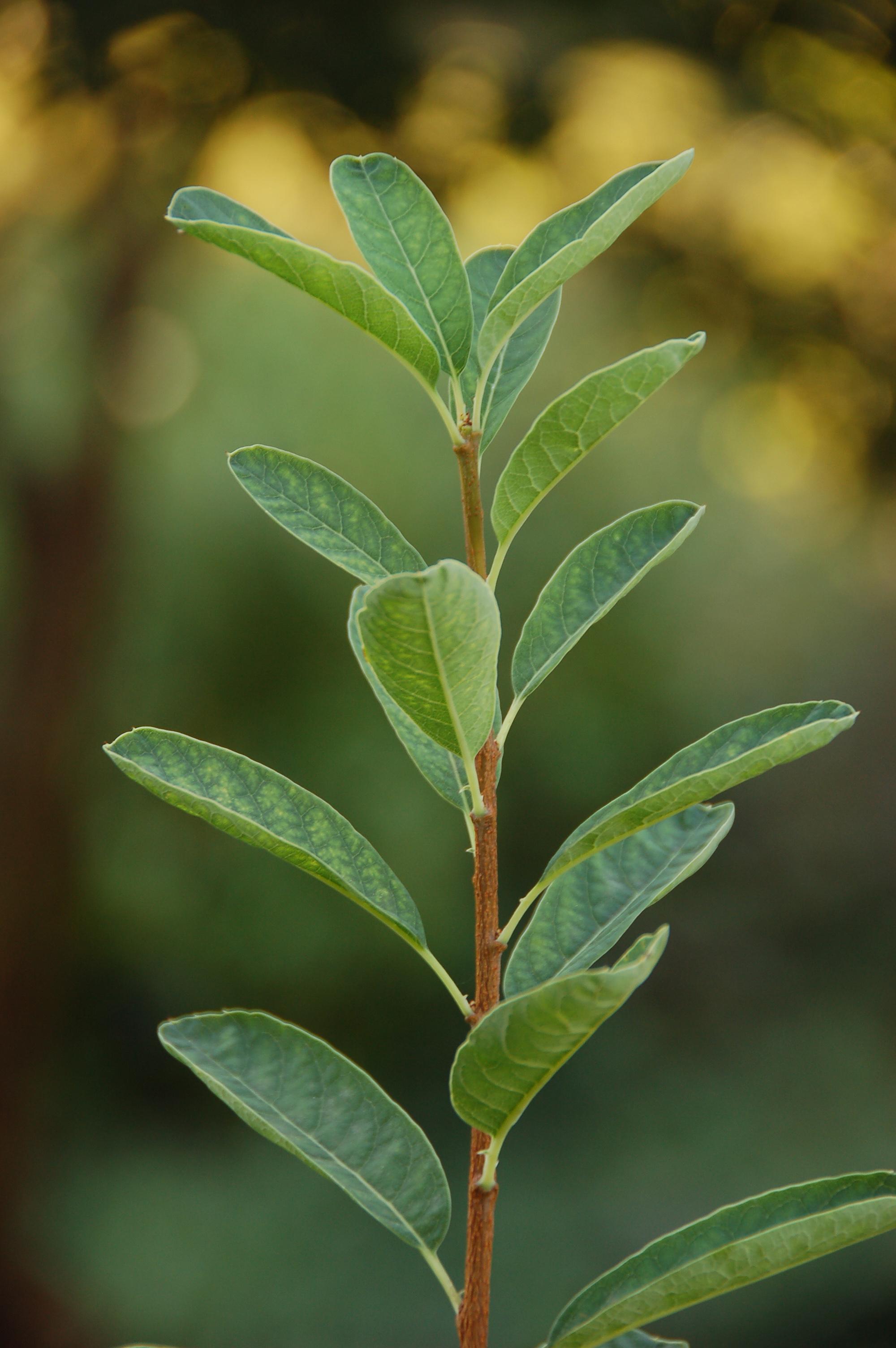 File:Pearlbush Exochorda racemosa Leaf Stalk 2000px.jpg ...