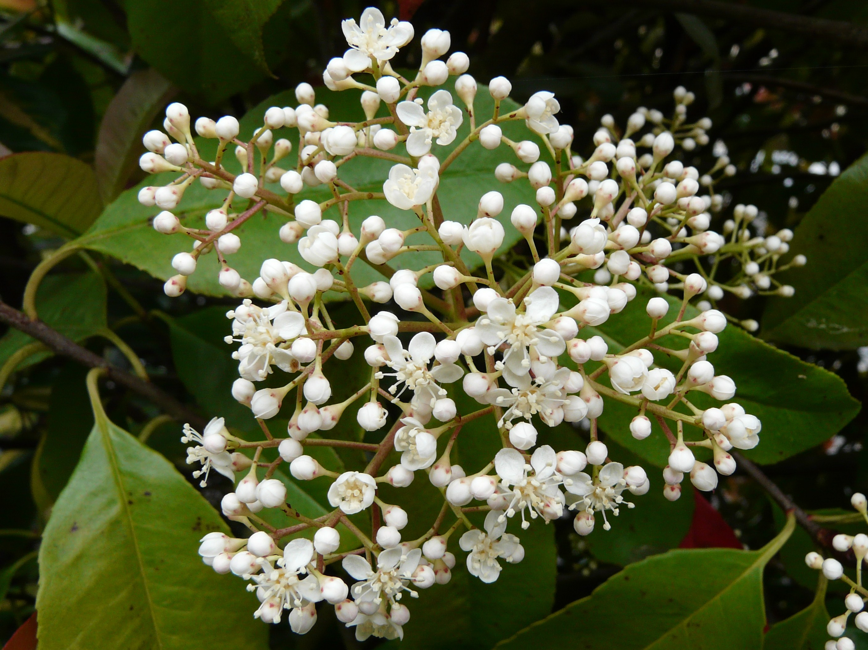 photinia x fraseri vancouver island grows. Black Bedroom Furniture Sets. Home Design Ideas