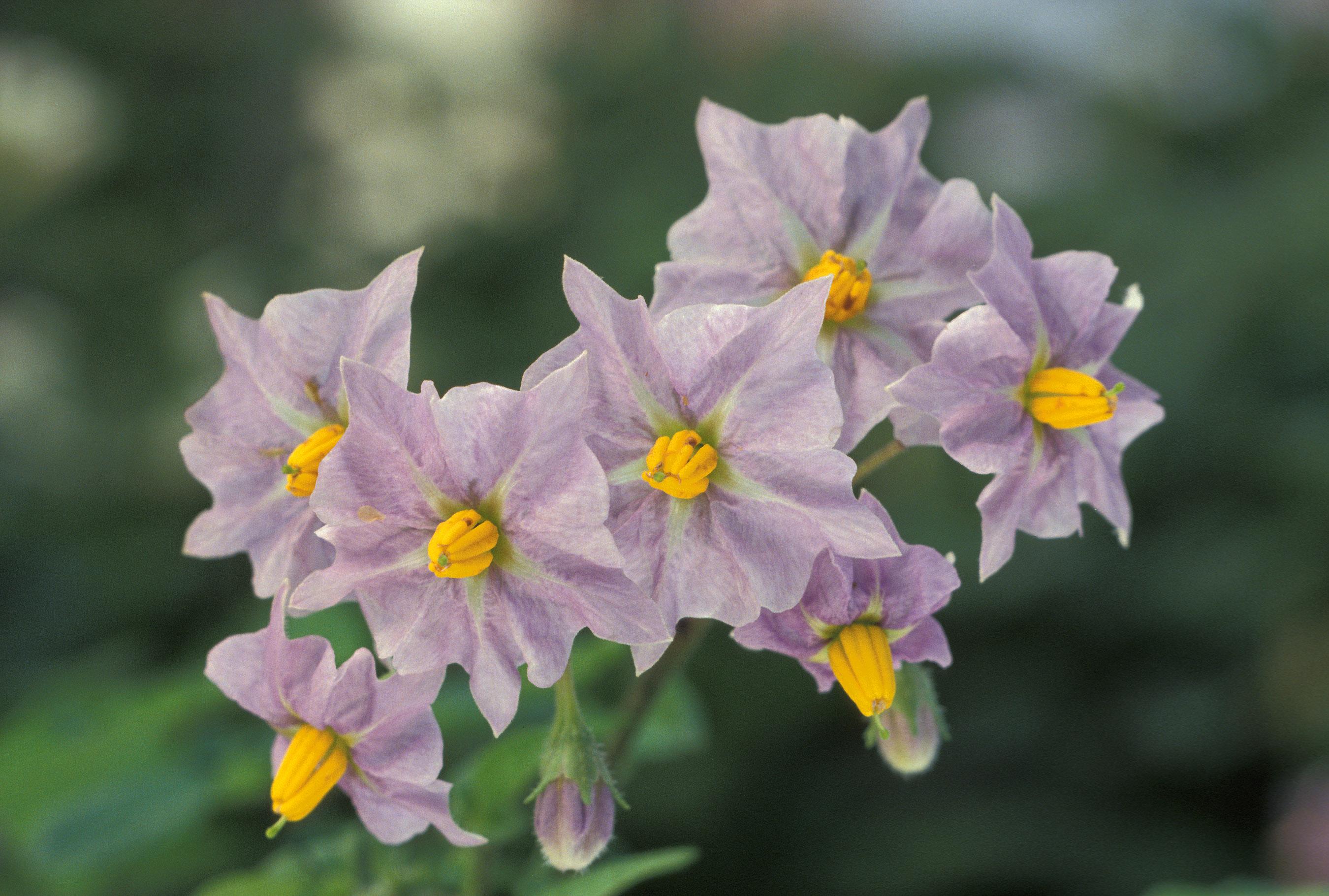 external image Potato_flowers.jpg