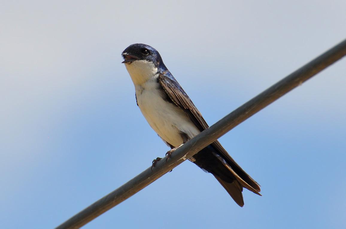 The White Swallow 93