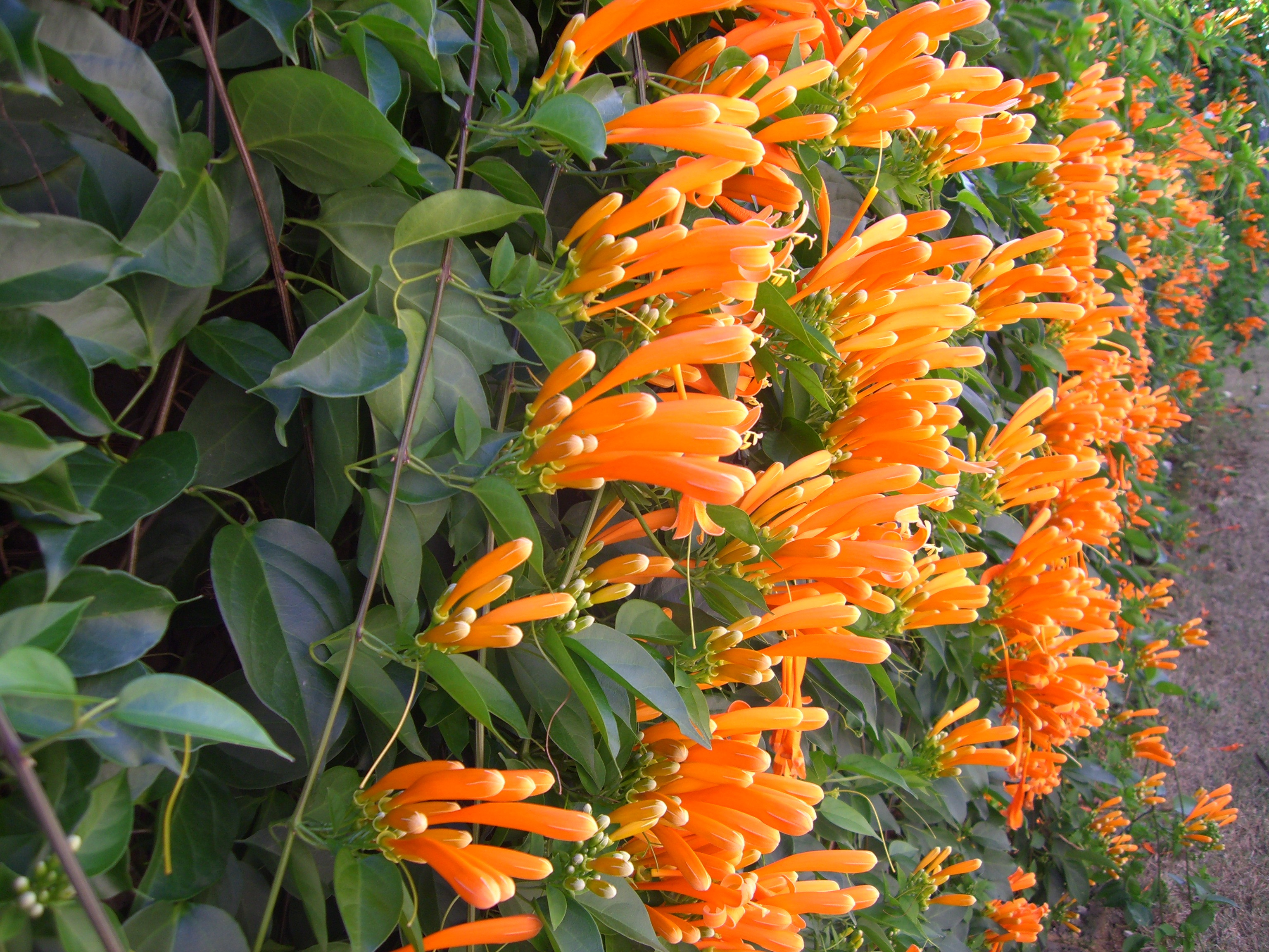 File pyrostegia venusta - Plantas trepadoras para muros ...