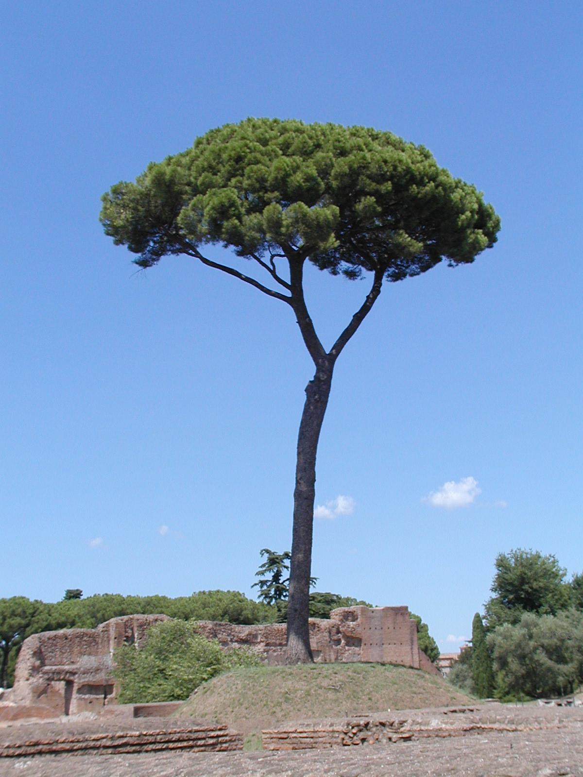borovice pinie wikiwand