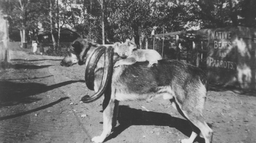 File Statelibqld 2 294843 Snake And Koala Riding A Dog At