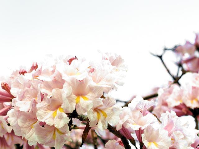 fleurs épanouies du tabebua