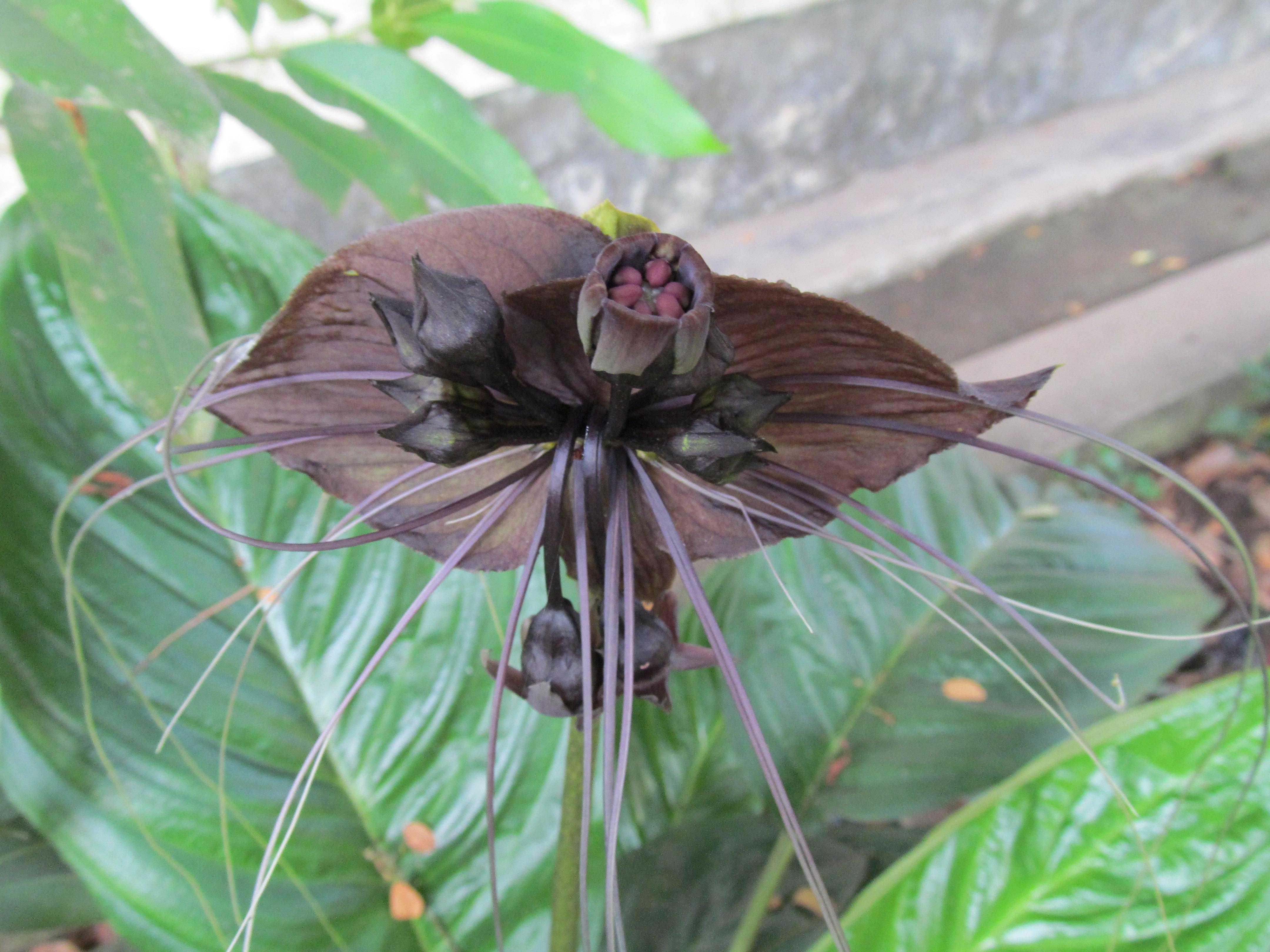 File Tacca chantrieri Kerala Vavvalpoovu black bat flower 04 JPG Wikime