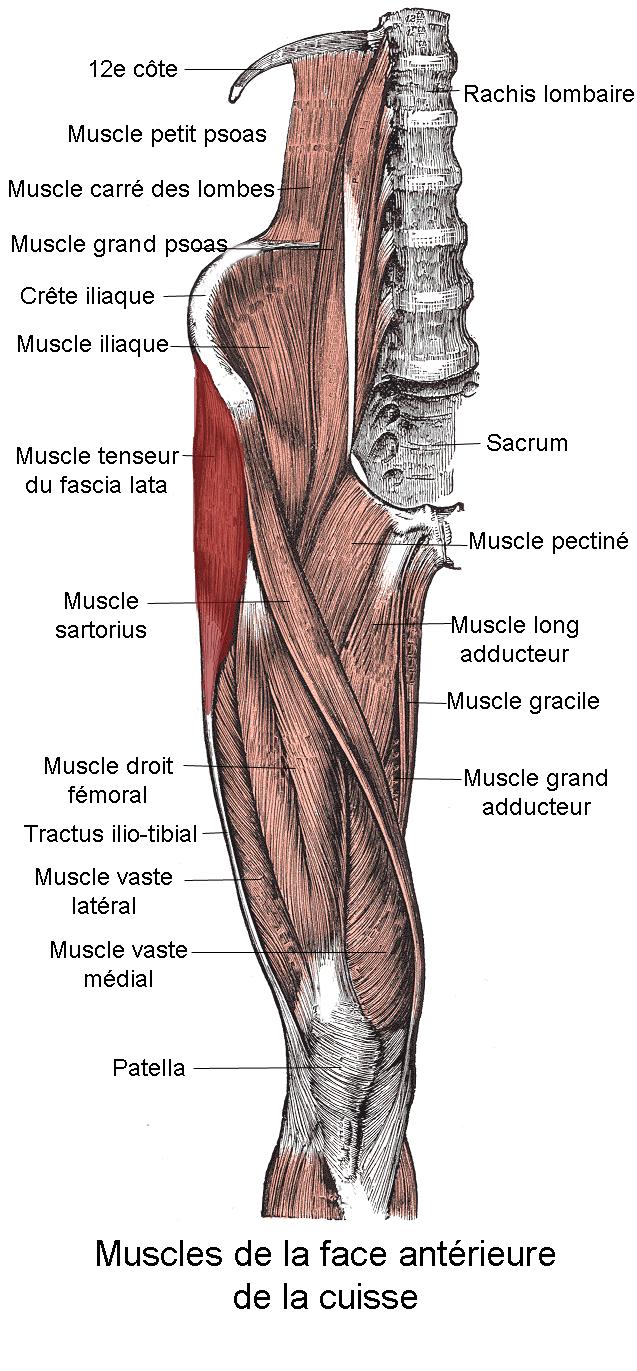 Muscle tenseur du fascia lata wikip dia for Douleur au genou gauche interieur