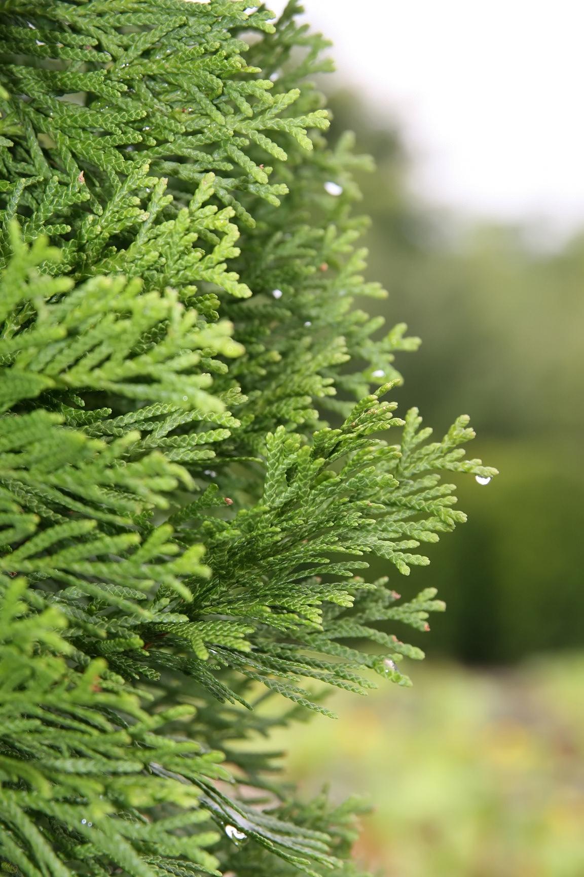 Picture of Live American Arborvitae aka Thuja occidentalis 'Emerald' Plant Fit 5 Gallon Pot