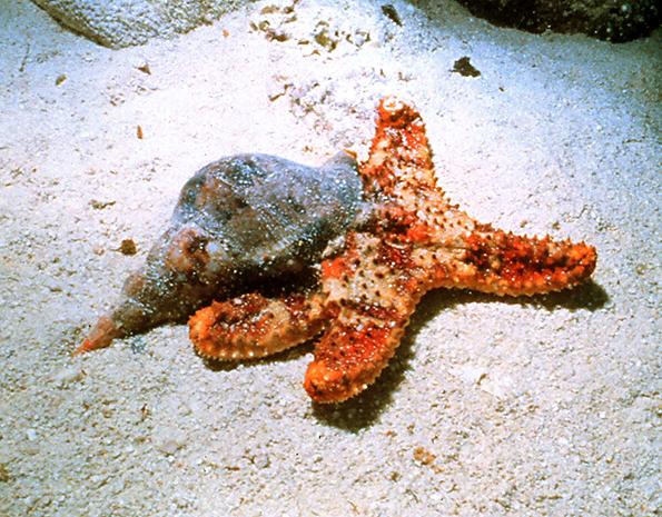 File triton eating sea cushion jpg wikipedia