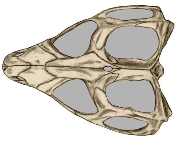 File:Tuatara upper side skull.png