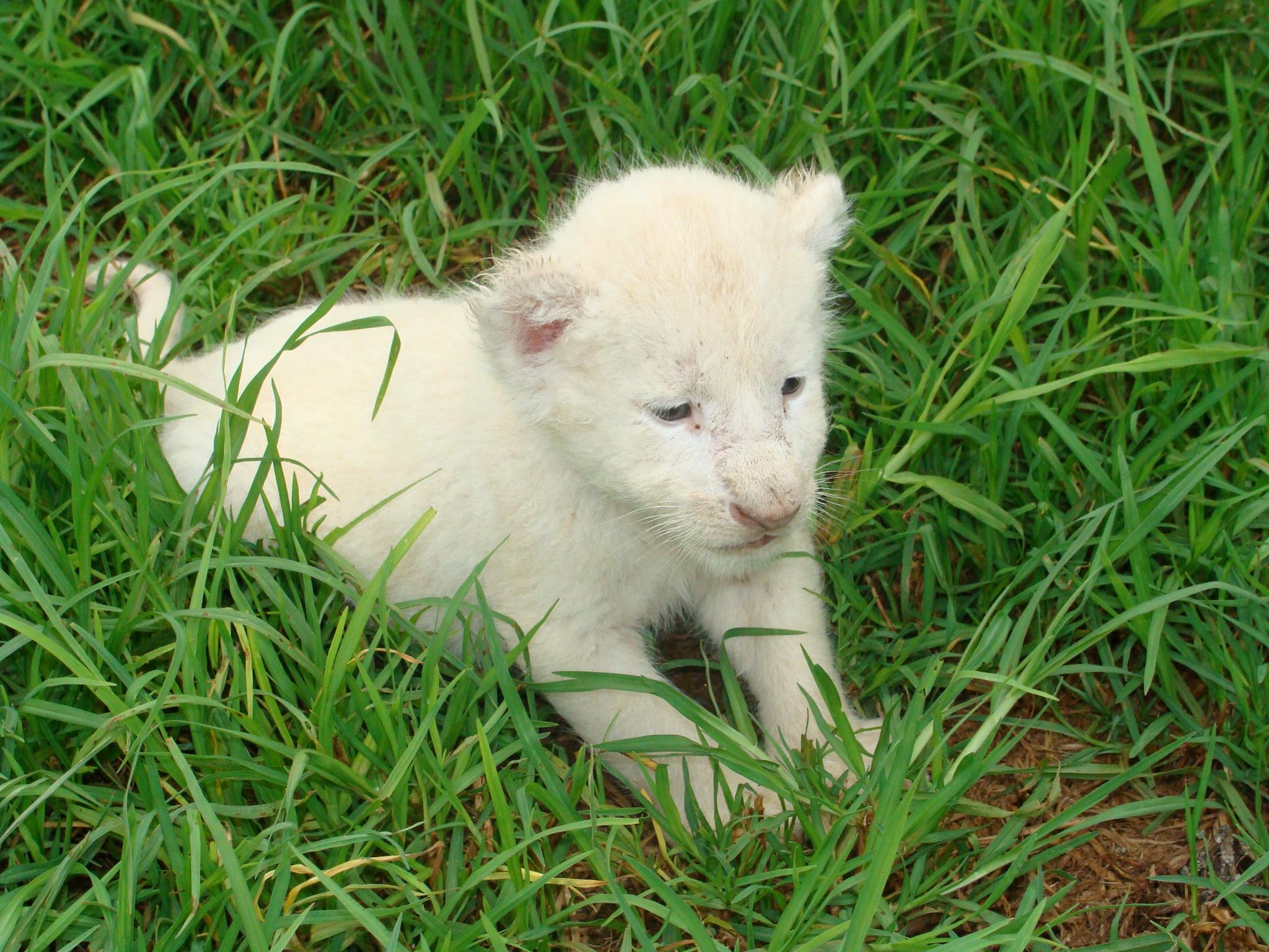 File:White lion cub.JP...