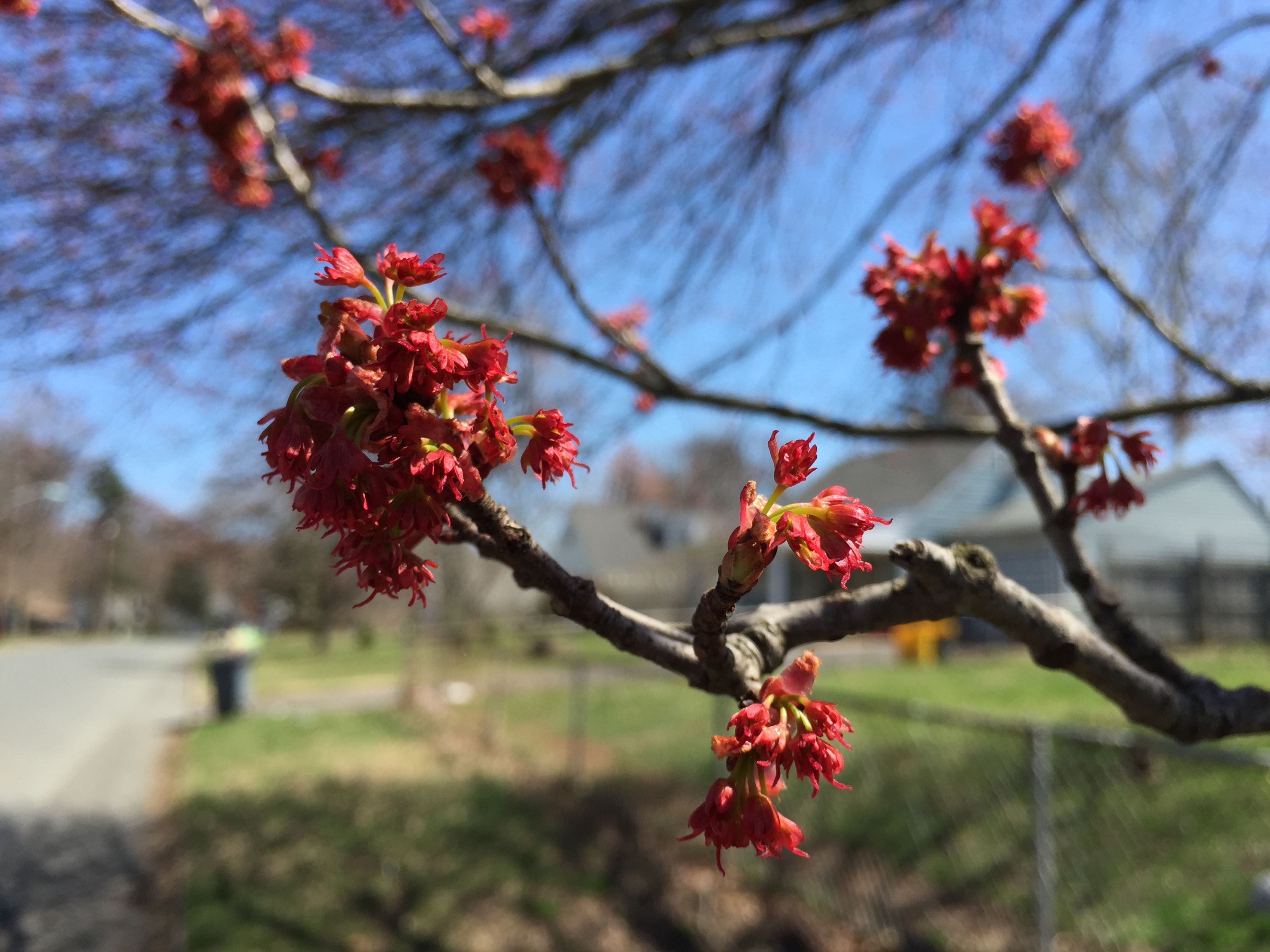 File 2015 04 12 13 50 24 Female Red Maple flowers on Terrace Boulevard in Ewi