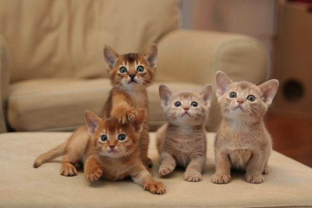File:4 Abyssian kittens.jpg