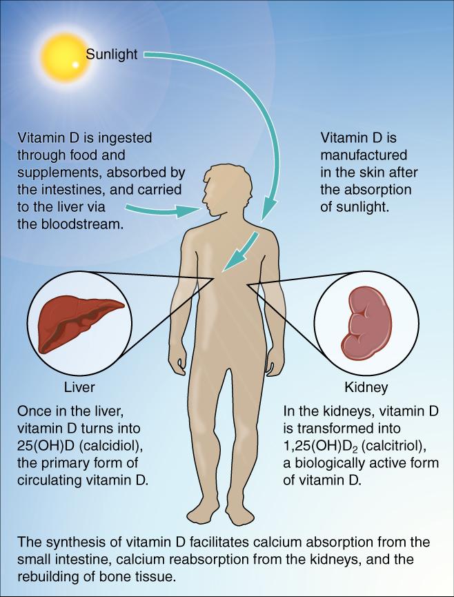 vitamin d sythesis