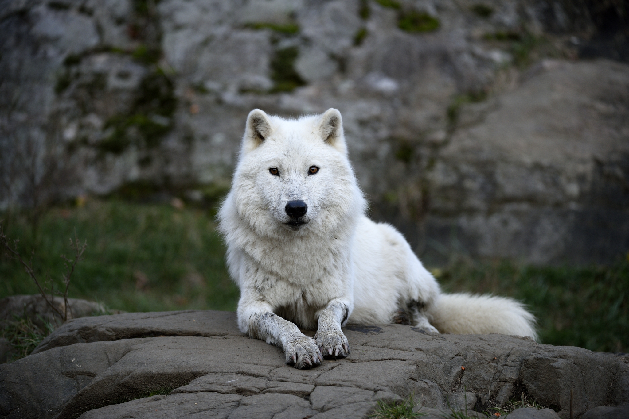 Artic_wolf.jpg