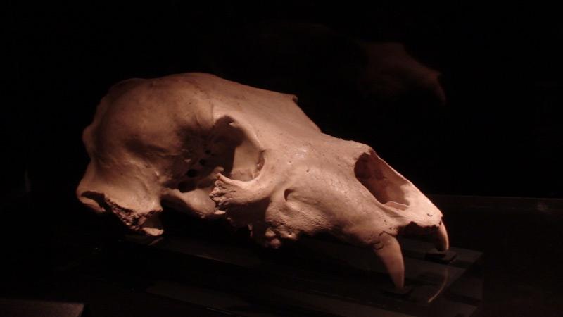 File:Atapuerca carnivore skull 2.jpg