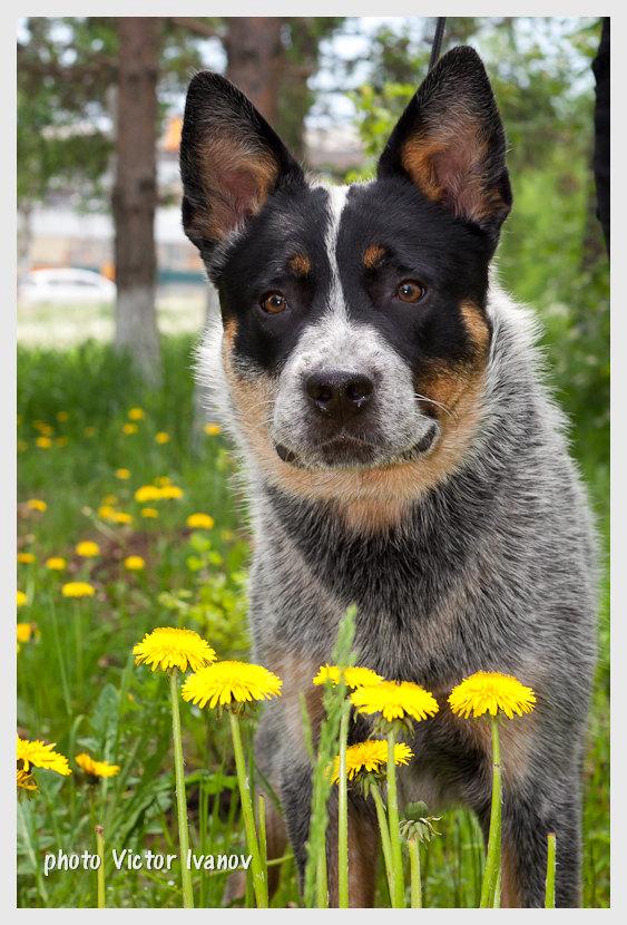 file australian cattle dog from dingostar kennel jpg
