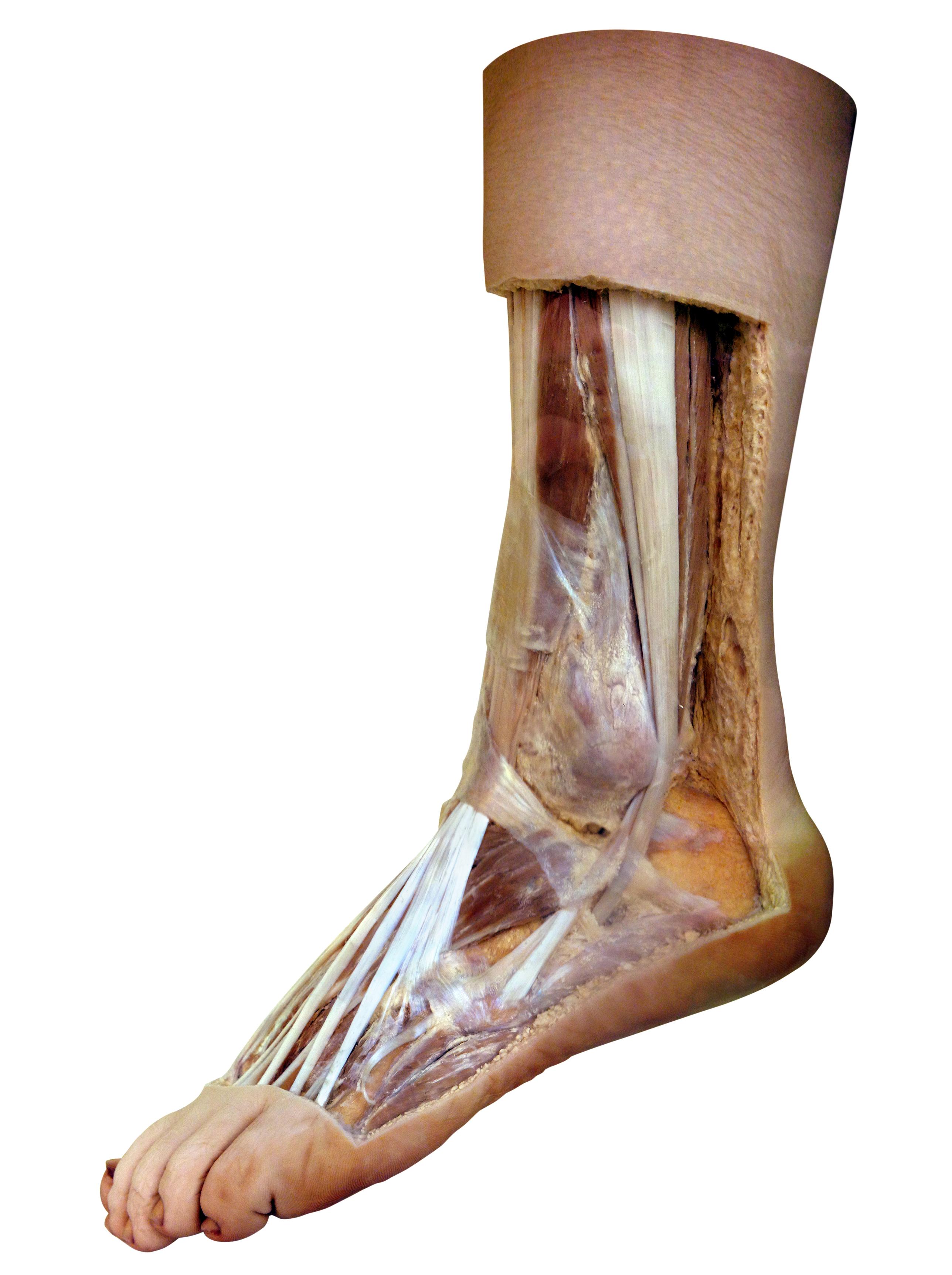 Ausgezeichnet Skelettanatomie Fuß Galerie - Menschliche Anatomie ...