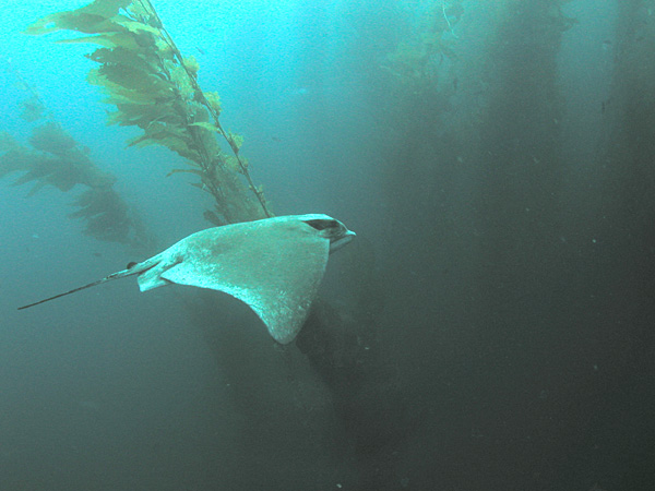 File:Bat Ray in kelp forest, San Clemente Island, Channel Islands, California.jpg