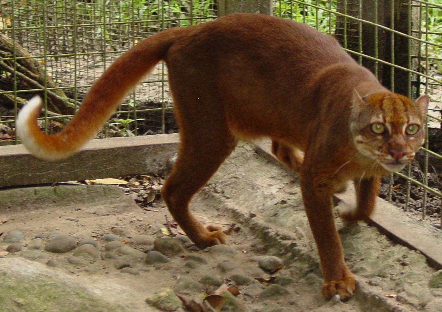 Bay cat - Wikipedia