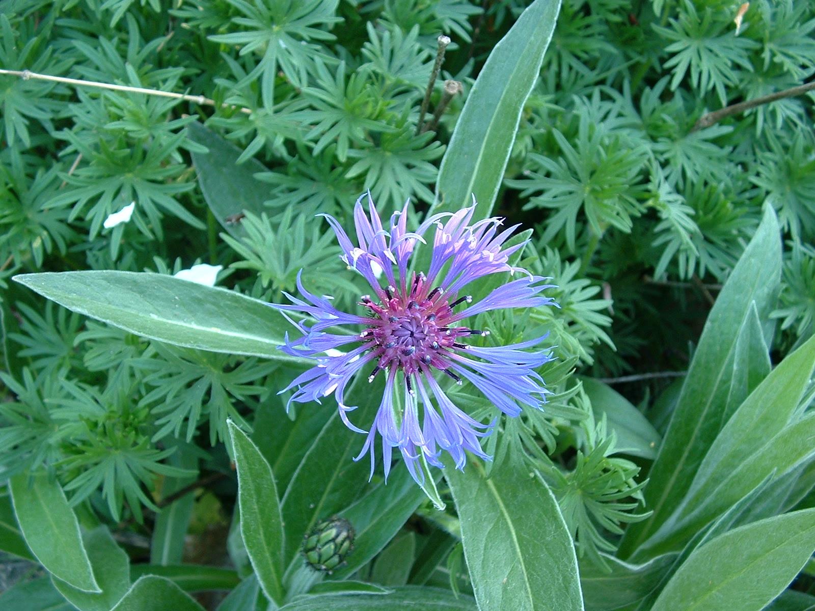 File Bleuet Cornflower Aciano Wikimedia mons