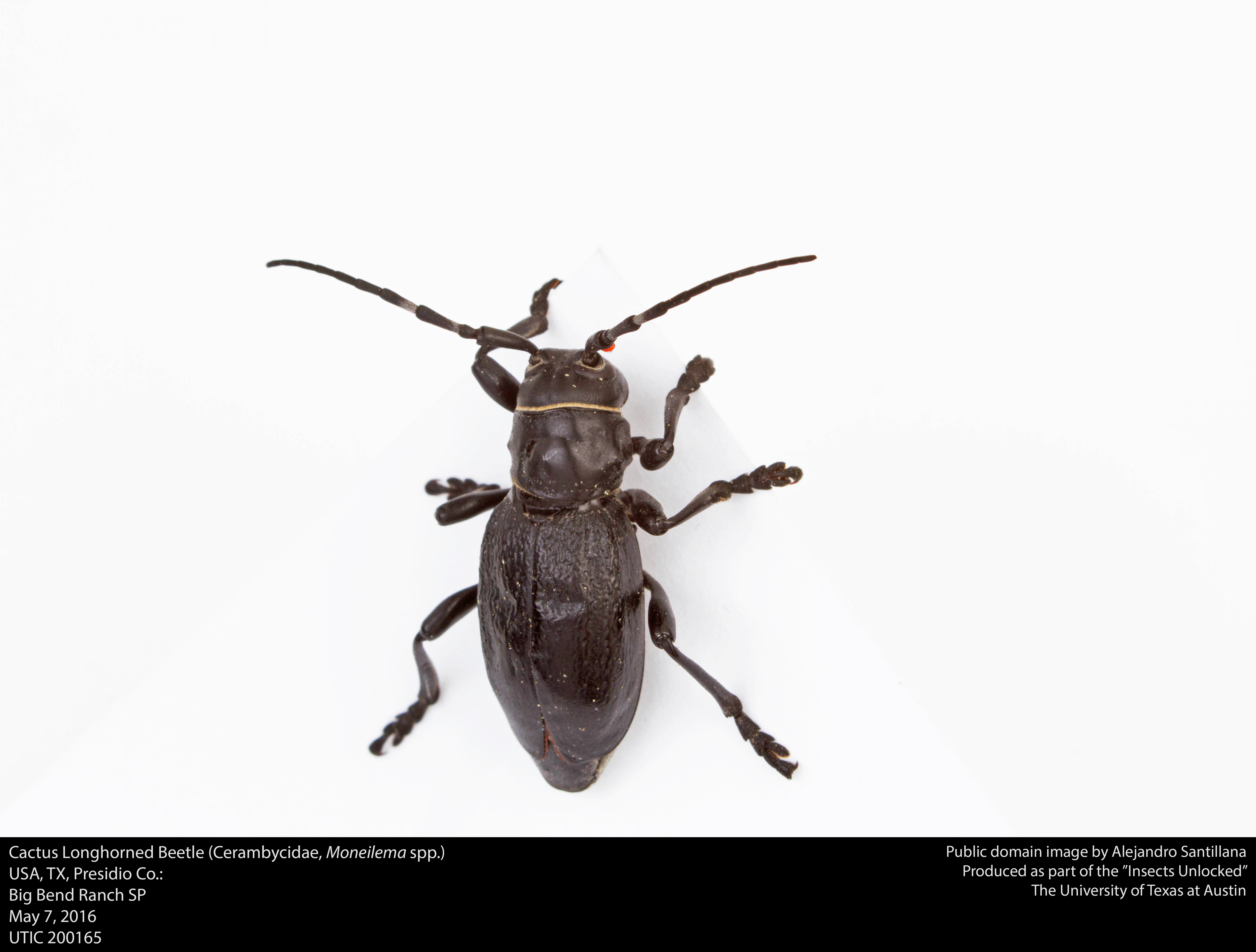 the characteristics of the japanese cedar longhorned beetle a bug species Japanese cedar longhorned beetle  development of lures that attract several cerambycid species is being proceedings of the entomological society of.