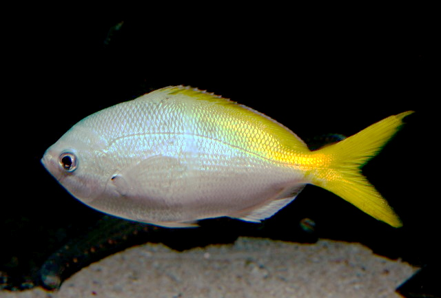 Ikan Delah Wikipedia Bahasa Melayu Ensiklopedia Bebas