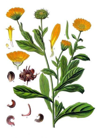 http://upload.wikimedia.org/wikipedia/commons/b/ba/Calendula_officinalis_-_K%C3%B6hler%E2%80%93s_Medizinal-Pflanzen-024.jpg