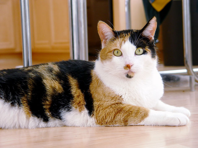 Calico cat - Phoebe