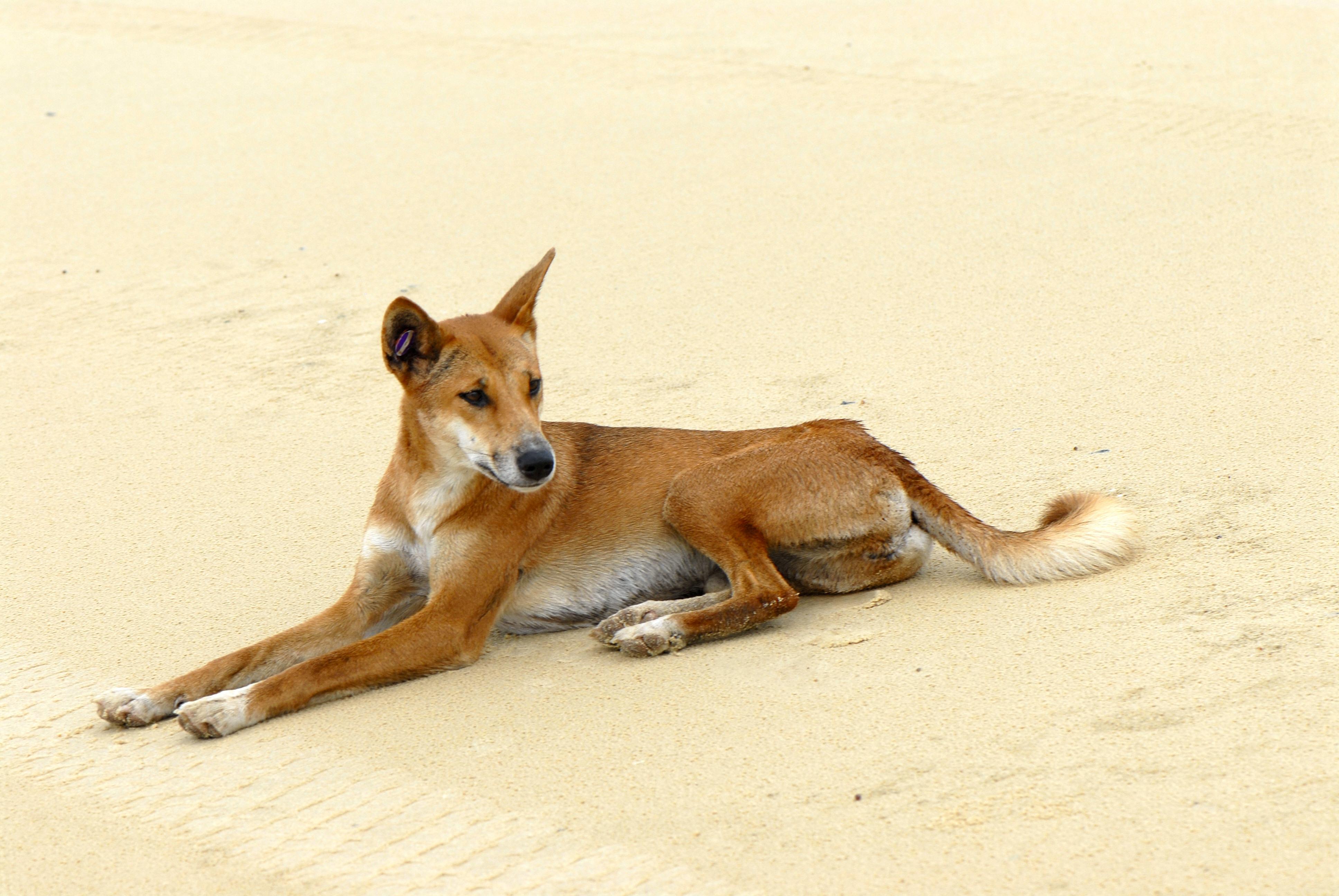 Kangaroo Island Dogs