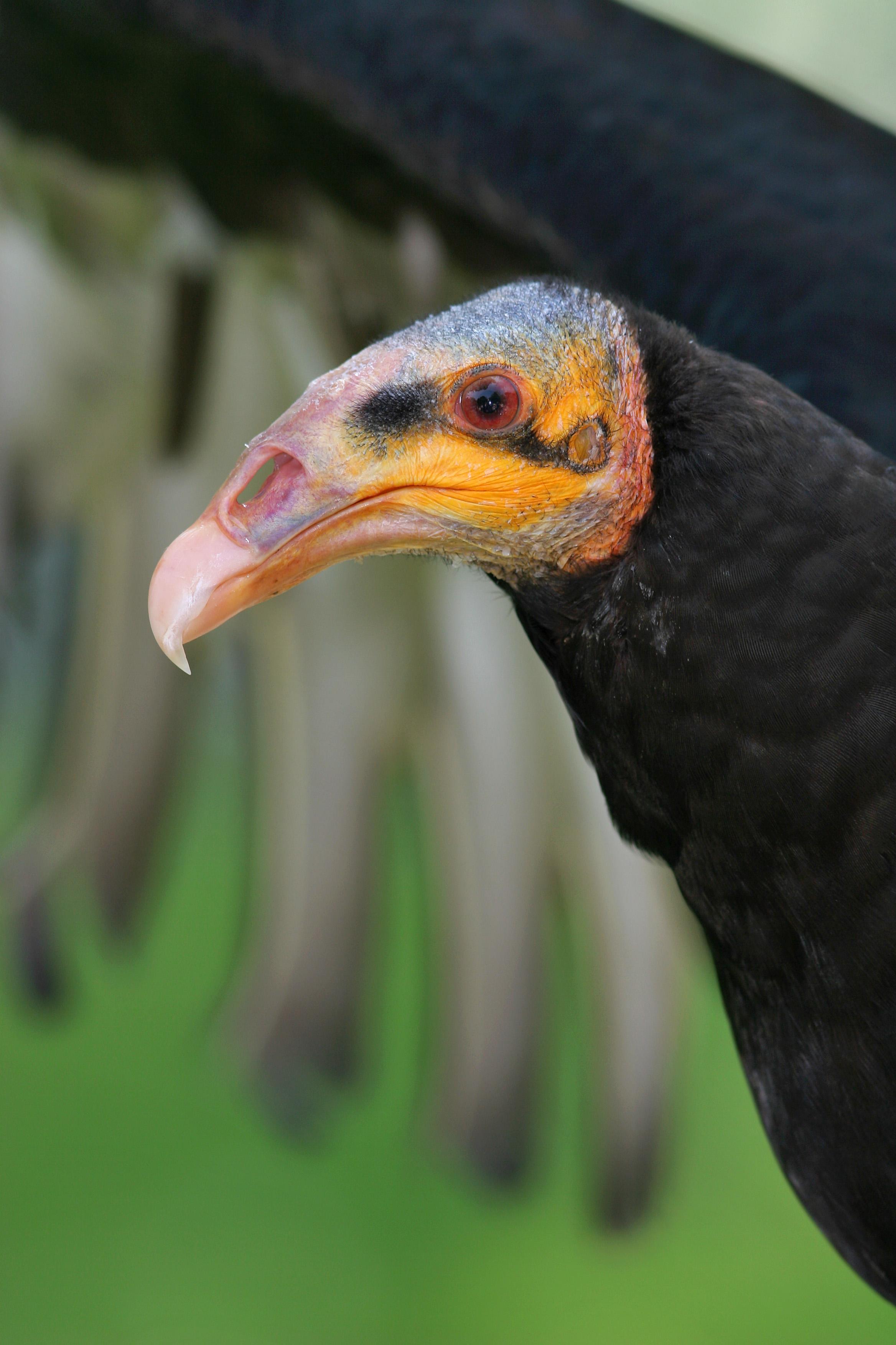 Lesser Yellow-headed Vulture at Amsterdam Zoo, Nethelands by Arjan Haverkamp